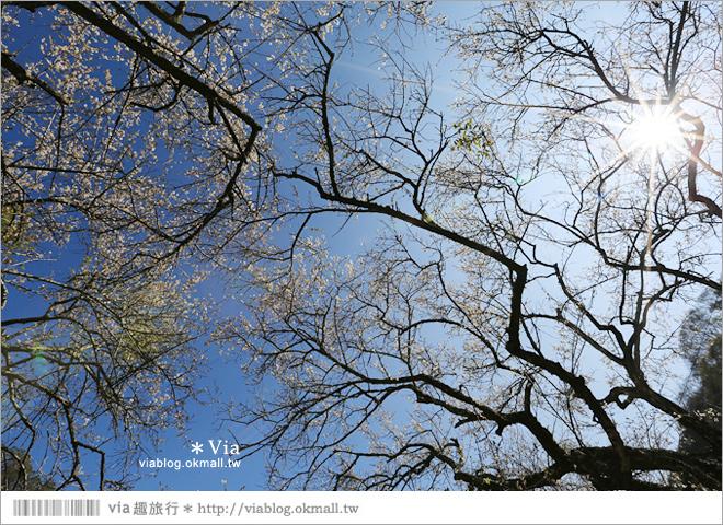 【柳家梅園】大人氣的賞梅景點!牛稠坑「柳家梅園」新私房賞梅步道16