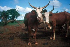 Tue, 01/20/2015 - 04:18 - Species name: Cattle (photo credit: ILRI).