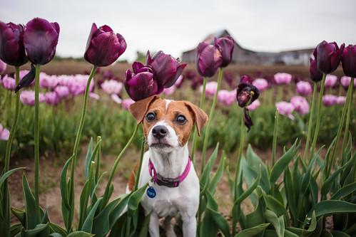 Tulips-7436