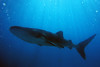 Whale Shark, Oslob, Cebu Island