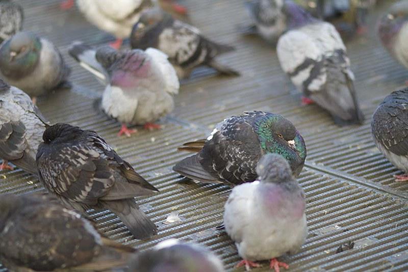 10 Pigeon Upclose IMG_6921