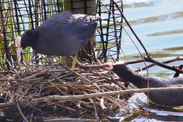 Coots building nest, St. James's Park, London, UK, April 2014