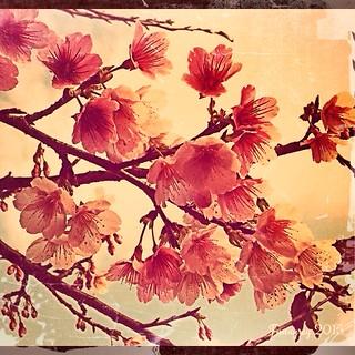 【My iphone photo】 櫻花 cherry blossoms