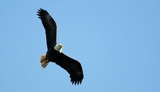 Adult Blad Eagle