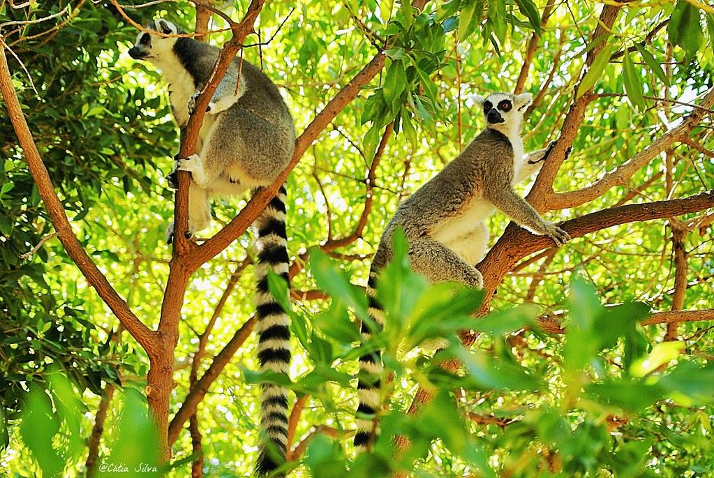 Bioparc Valencia_Madagascar (1.2) Lemur de cola anillada