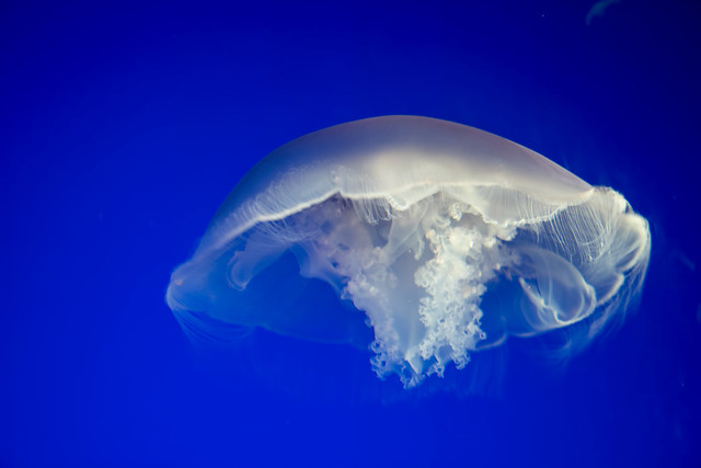 Moon Jelly 2