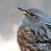 Alpine acceptor (Prunella collaris) Havasi szürkebegy