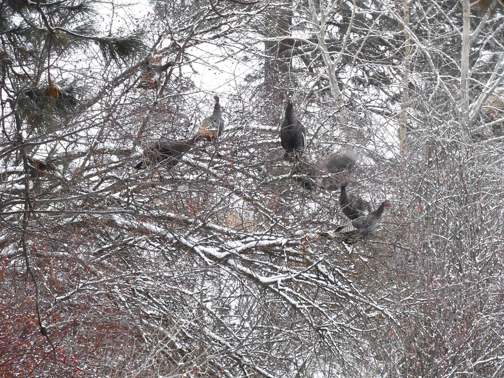 Wild turkeys in Hawthorn tree