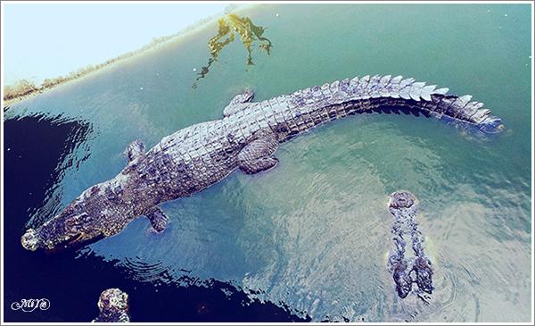 [Malaysia-Kedah] Crocodile Farm