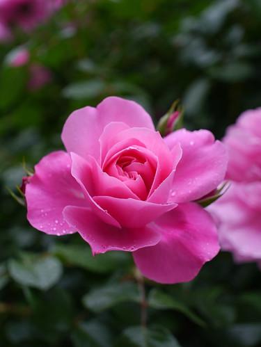 Rose, Deborah, バラ, デボラ,
