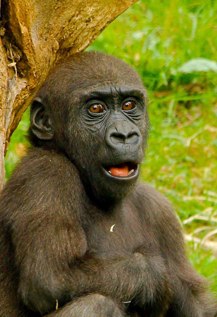 Gorilla (Gorilla gorilla)_2