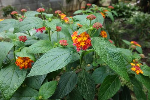 "lantana_3 ""ランタナ"" の花の写真。 緑色の葉。 黄色と橙色と赤色の花。"
