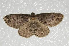 # 6620 – Melanolophia canadaria – Canadian Melanolophia Moth