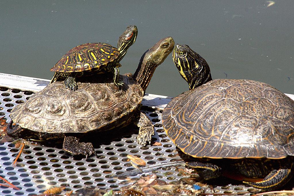 la tortuga montada del estanque