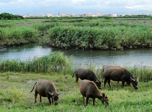 關渡自然公園的水牛(圖片來源:台北鳥會關渡自然公園)