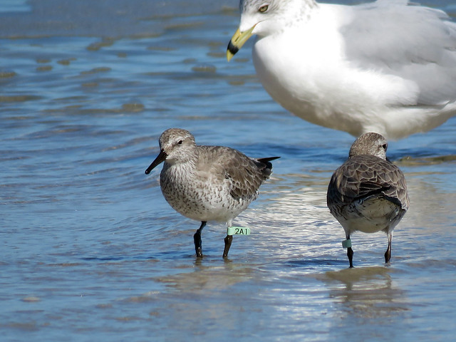 Red Knot (Calidris canutus) 2A1