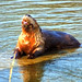 River Otter - The Fishing is Great in The Seine River in Ste. Anne, Manitoba