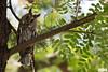 Long-eared owl, Waldohreule, Asio otus @ Israel, 2016 urban nature by Jan Rillich