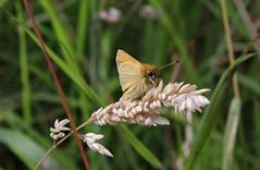 Essex Skipper (Thymelicus lineola )