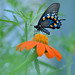 Pipe_Vine_Butterfly_on_Mexican_Sunflower by thorntm
