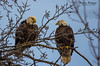 Bald Eagles Pair
