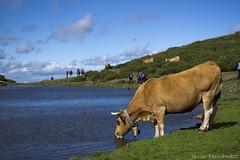 Vaca bebiendo en la laguna
