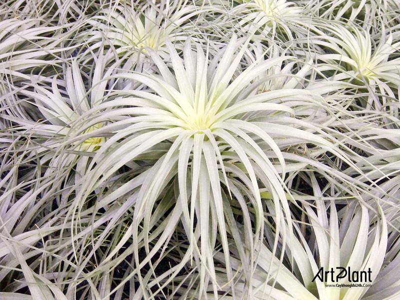 art plant | cay khong khi | tieu canh khong khi | terrarium | khong khi bach kim