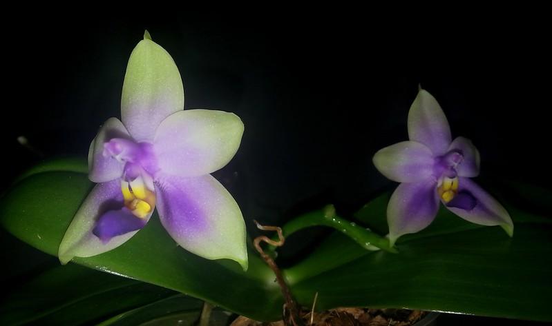 Phalaenopsis bellina x violacea (Samera) 15644919378_869423293b_c