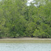 Small photo of Mangroves (Sonneratia sp.) at Low Tide