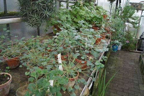 Pelargoniums of sect. Reniformia