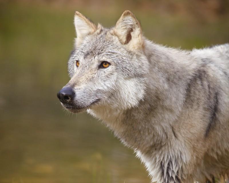 Wolf 04d  4362