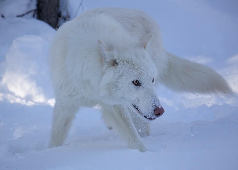 Arctic Wolf 501