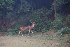 IMG_Deer_2