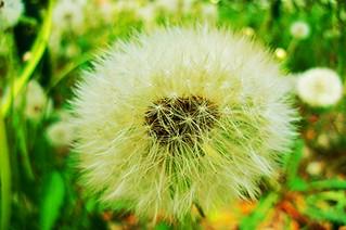 Pitypang (Gyermekláncfű,dandelion) (C)