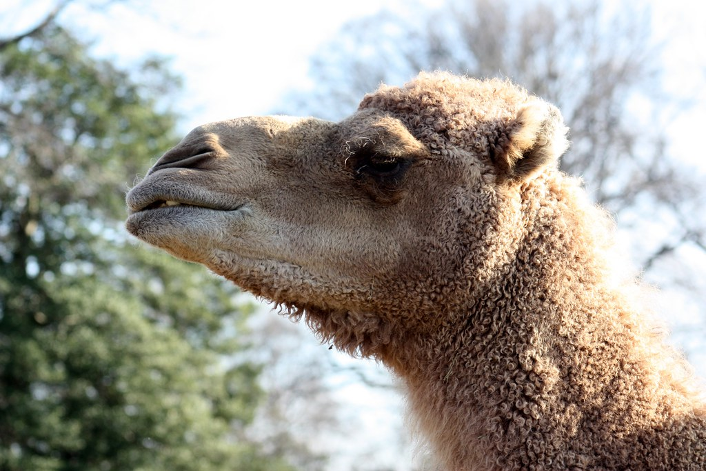 Camel Alladin