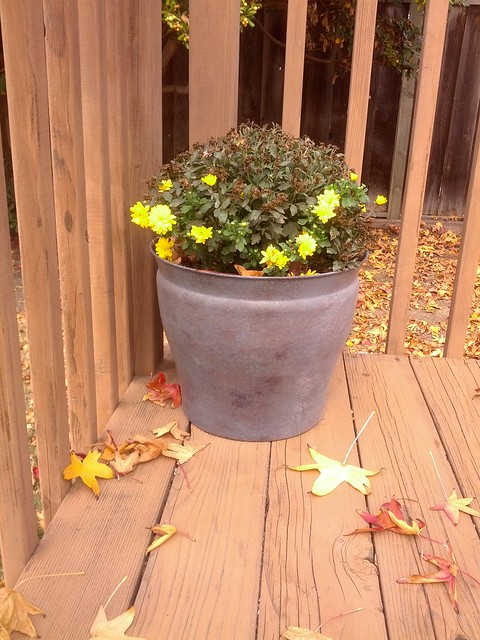 Chrysanthemums, November 16