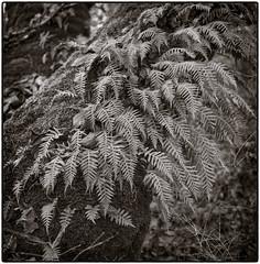 hasselblad.ferns1.jpg