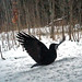 I May Be A Crow But I Feel Like An Eagle (Trail Cam) by Woody Woodsman