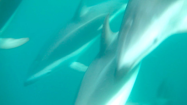 Swimming with dusky dolphins in Kaikoura, New Zealand