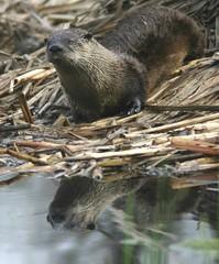 animal, otter, mammal, fauna, whiskers, wildlife,