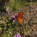 Gulf Fritillary Butterfly In My Garden 2015 - 05