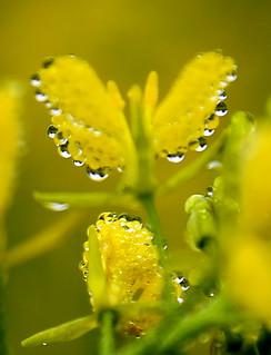 Dew Drops on Mustard Flower