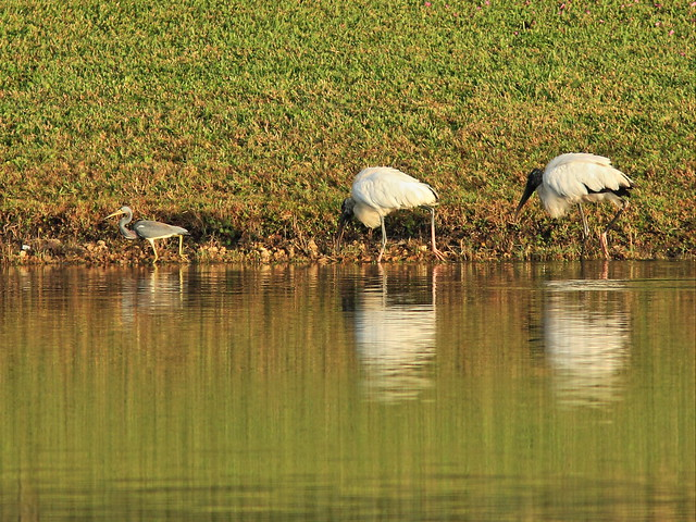 Tricolored Heron and Wood Storks 20141229