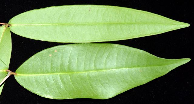 Syzygium wilsonii (top) and S cryptophlebium (bottom) DSC_0548 (5)-001