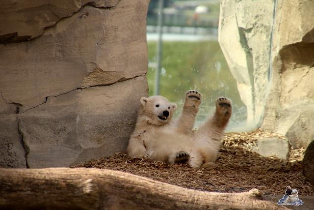 Eisbär Lilli im Zoo Bremerhaven 30.04.2016 Teil 2  144