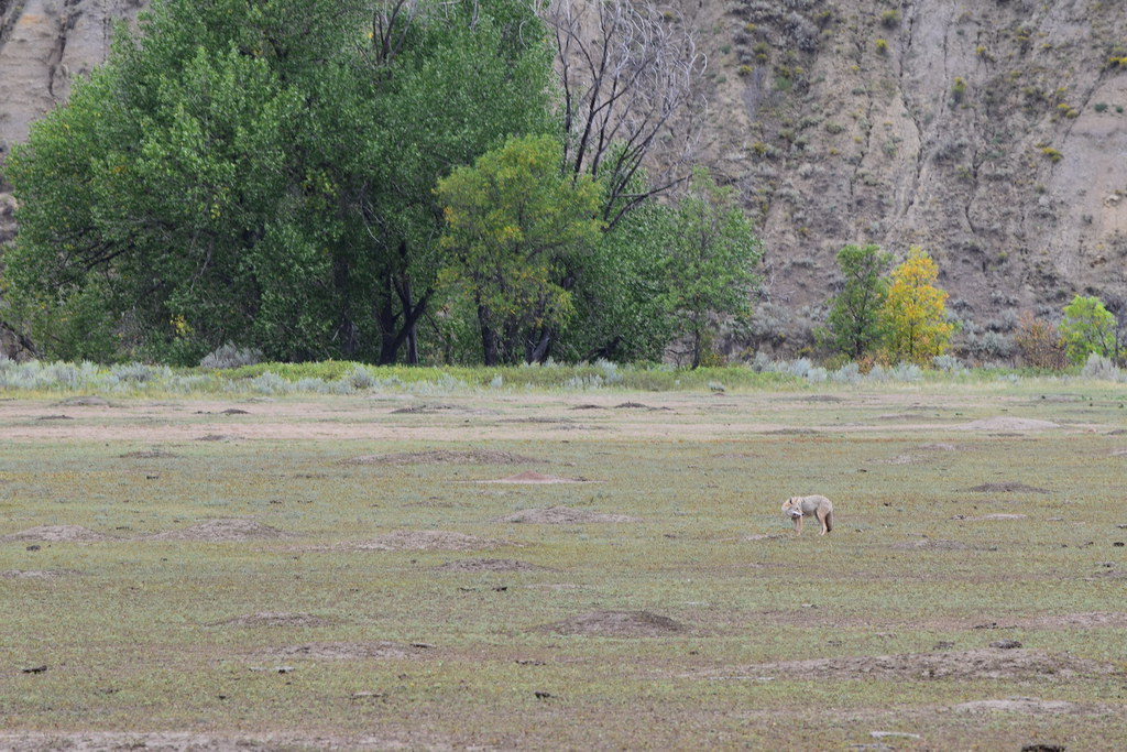 Coyote Eating Prarie Dog 1