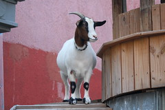 The goat at Silky O'Sullivan's on Beale Street in Memphis