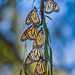 Monarchs 20160930_2588 by GORGEous nature