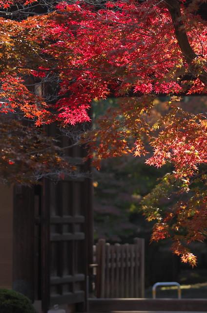 紅葉の豪徳寺 2014年11月23日