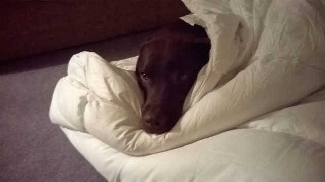 Chocolate labrador wrapped up in a plain duvet